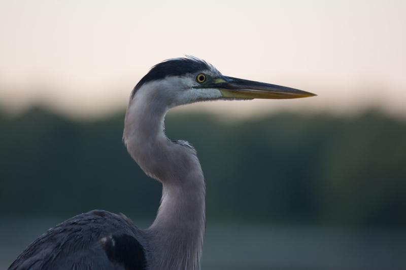 may 05 8728 blue heron face