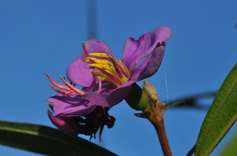 may 08 7041 Melastomataceae