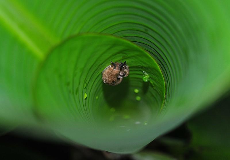 may 08 7233 banana snail