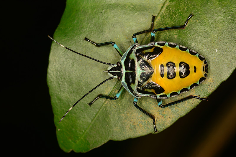 may 11 2393 shield bug