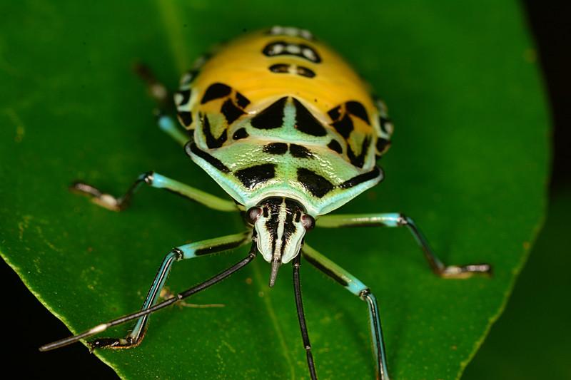may 11 2401 shield bug