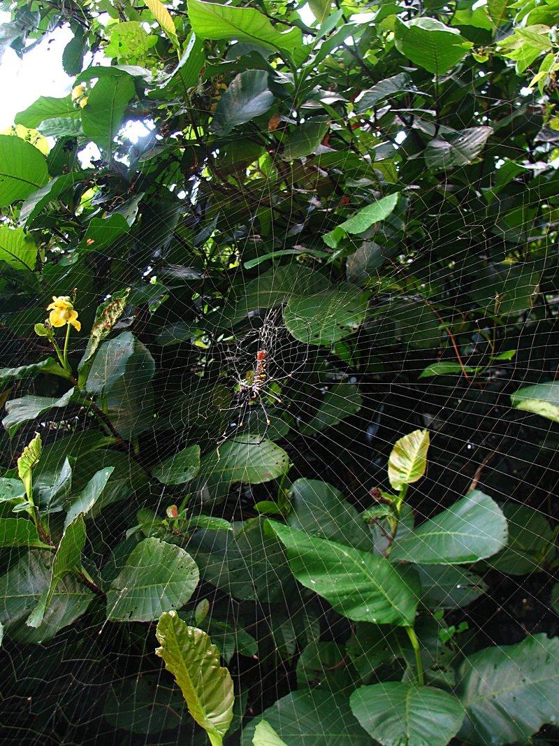 may 12 1138 nephila web side