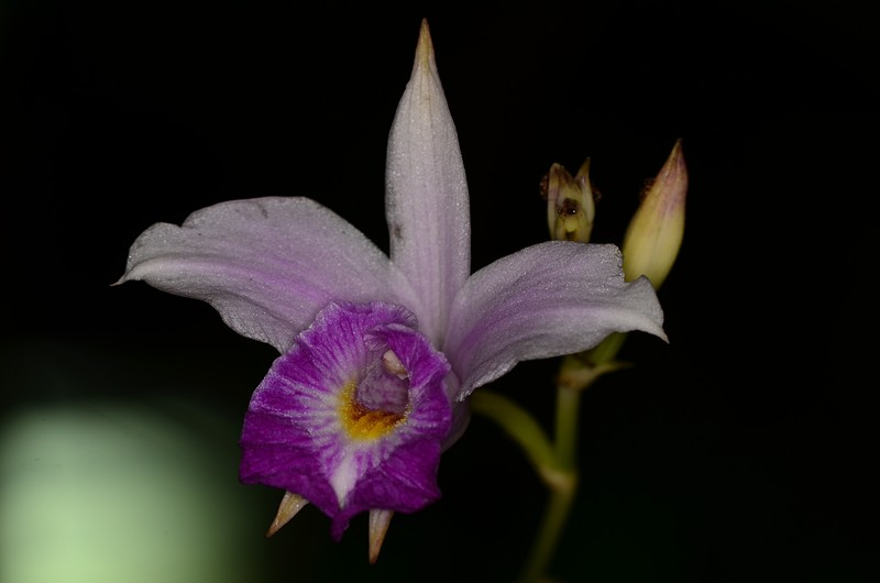 may 12 3328 orchid