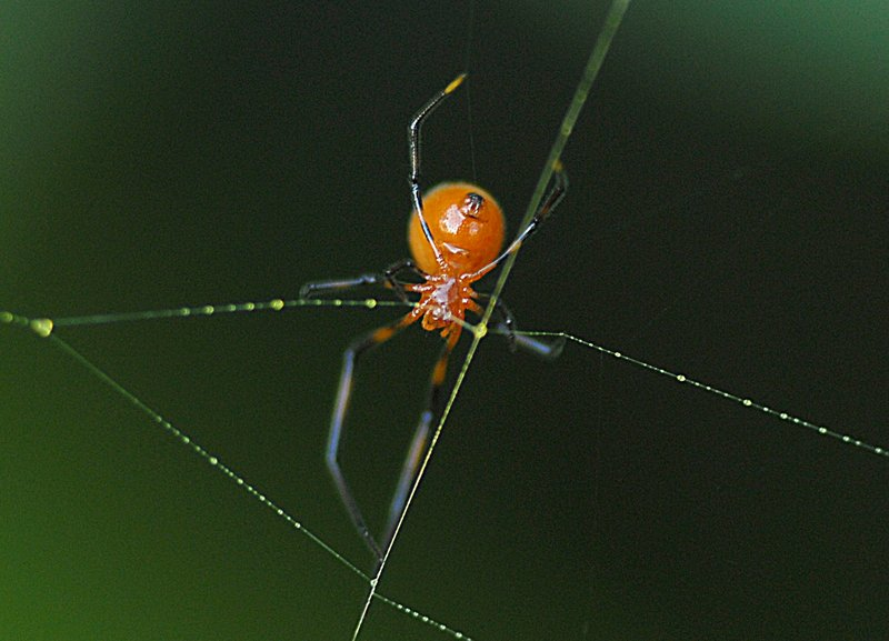 may 12 8460 argyrodes position