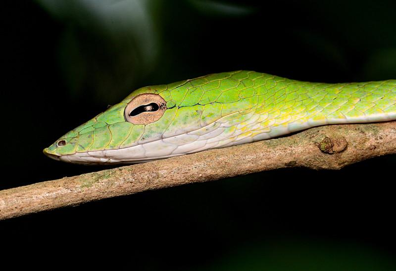 may 12 9753 oriental whip snake