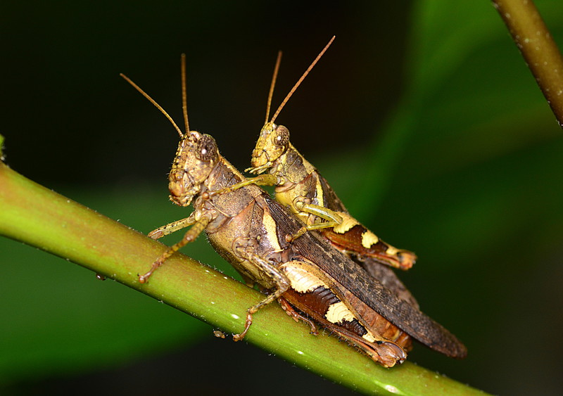 may 12 9790 mating grasshoppers