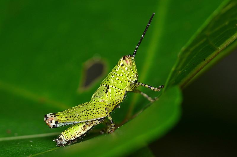may 12 9802 green grasshopper