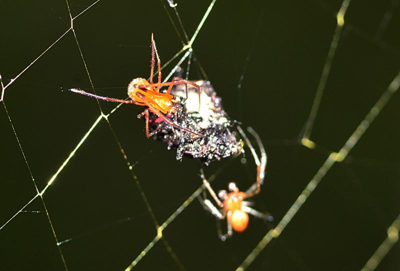 may 12 9858 female argyrodes male nephila