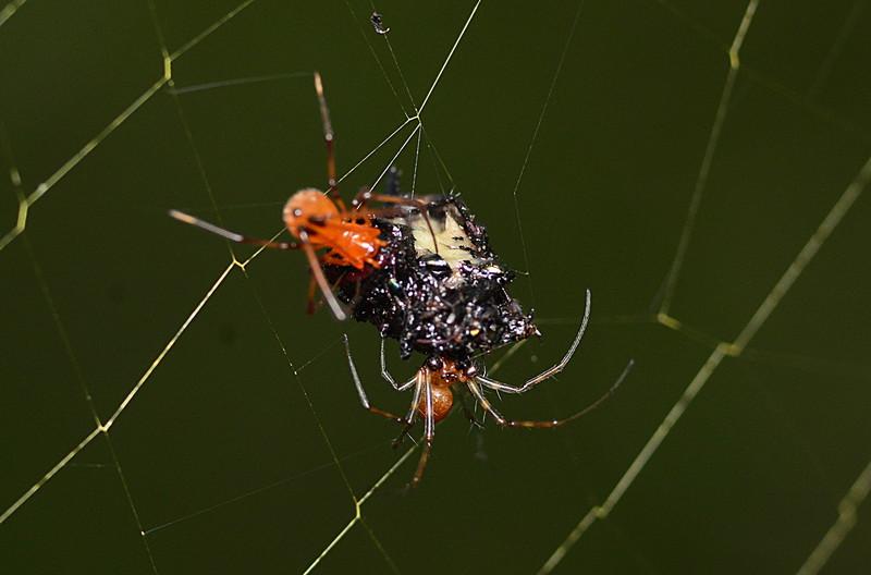 may 12 9861 male nephila female argyrodes