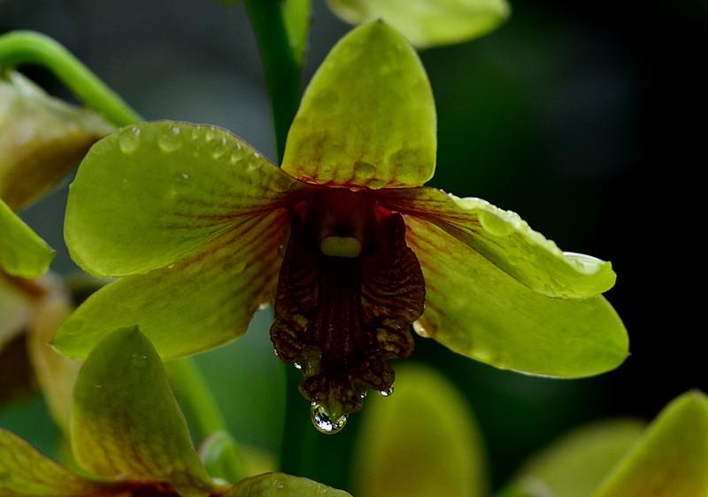 may 13 3593 yellow orchid drop