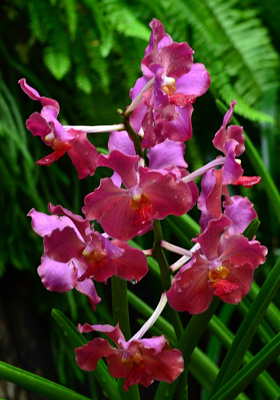 may 13 3626 reddish orchid