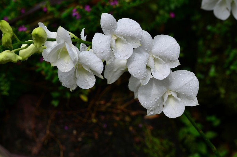 may 13 3633 white orchid