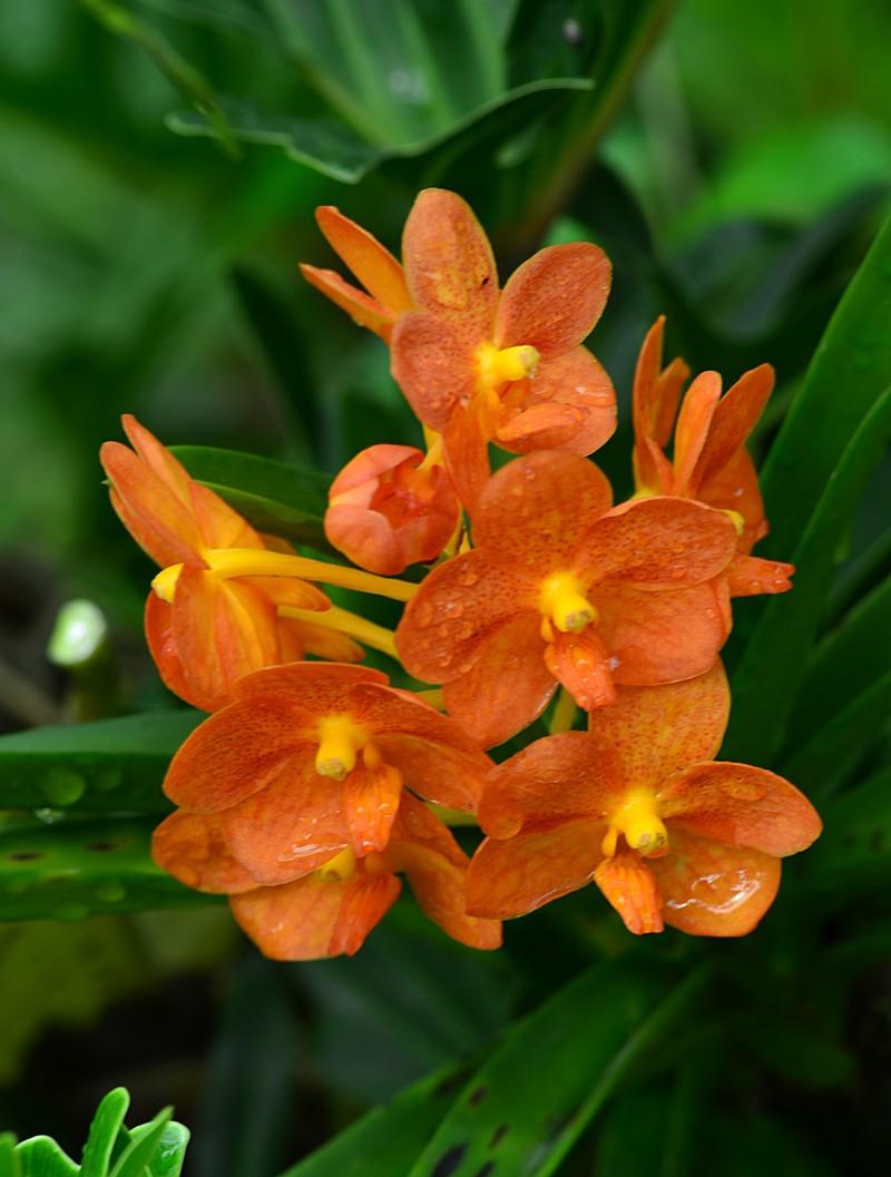 may 13 3638 orange orchid