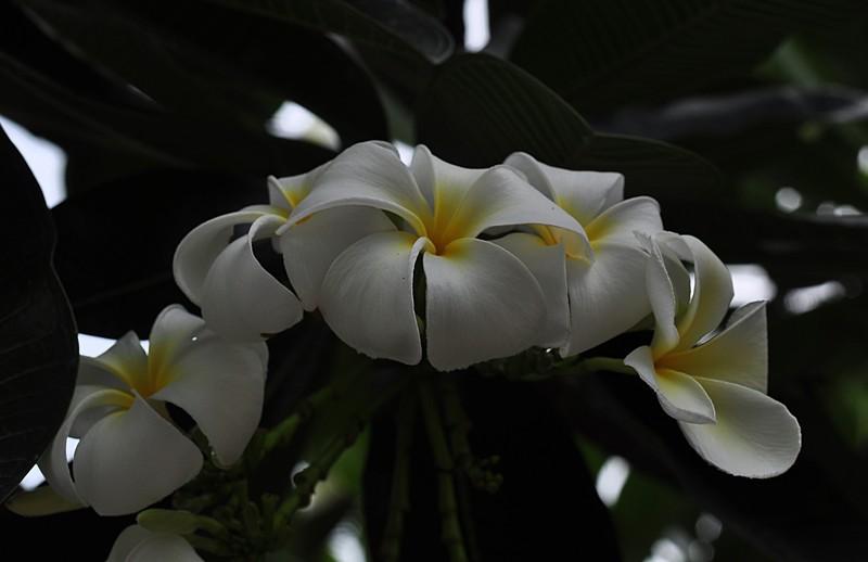 may 16 5583 frangipani