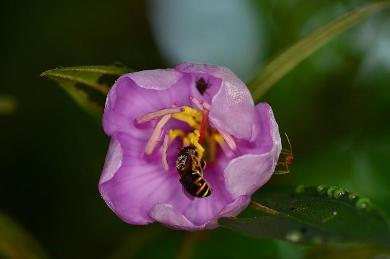 may 19 3703 bee melastoma