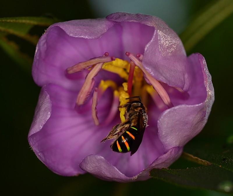 may 19 3720 melastoma bee