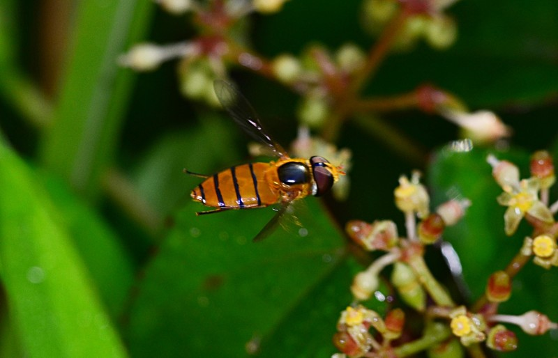 may 19 3742 hoverfly hovering