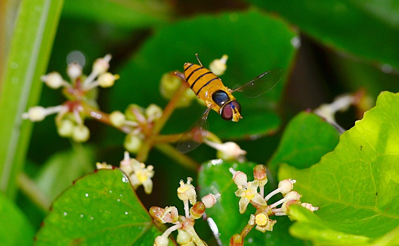 may 19 3743 hoverfly hovering