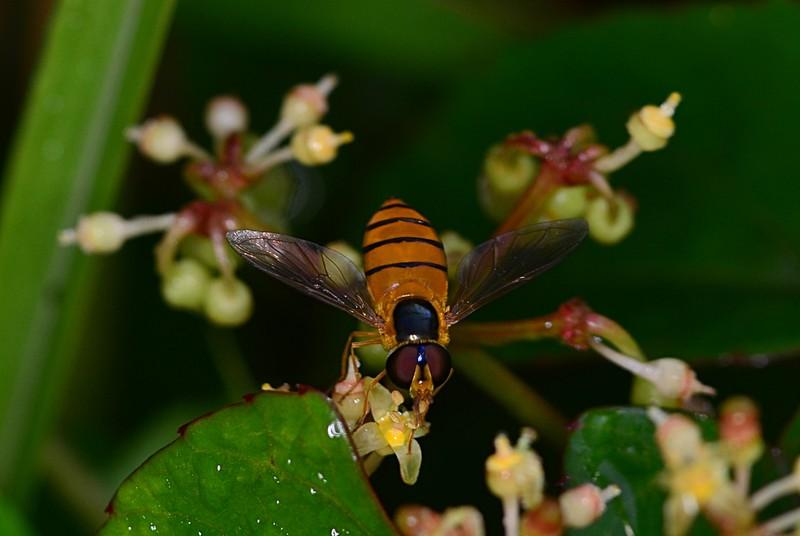 may 19 3753 hoverfly