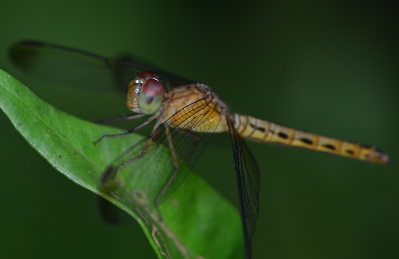 may 20 3844 dragonfly