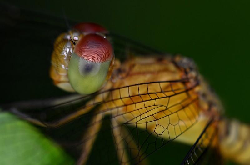 may 20 3879 dragonfly eye