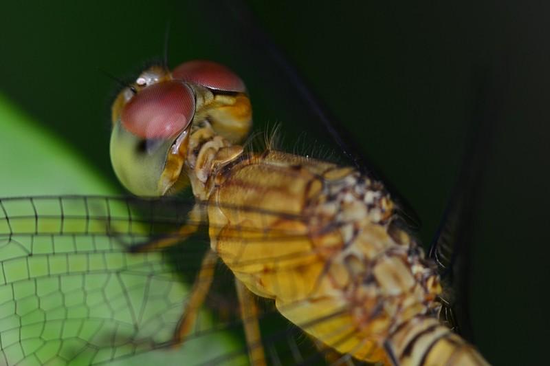 may 20 3880 dragonfly eyes