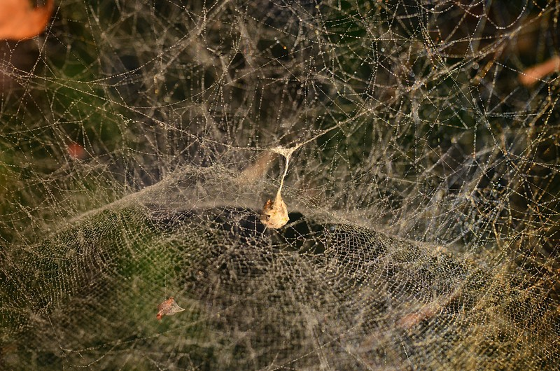 may 21 7581 mecynogea lemniscata web structure