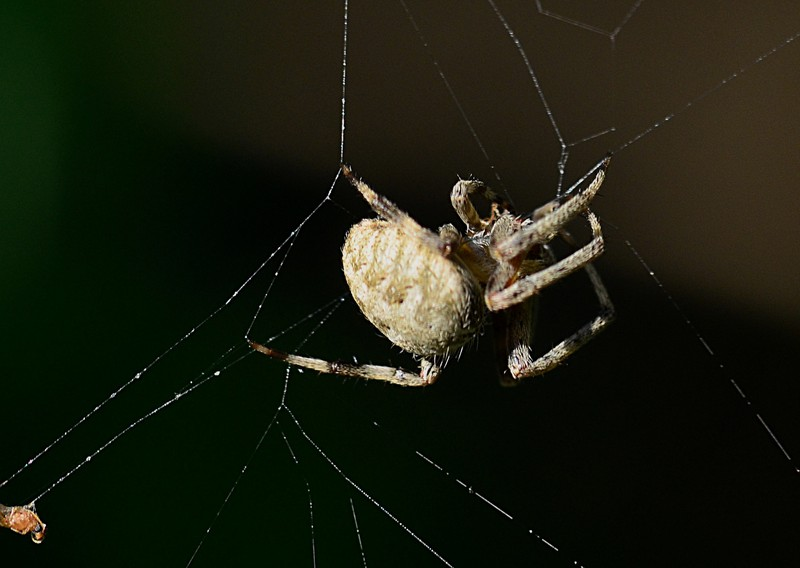 may 21 7644 Araneus cavaticus