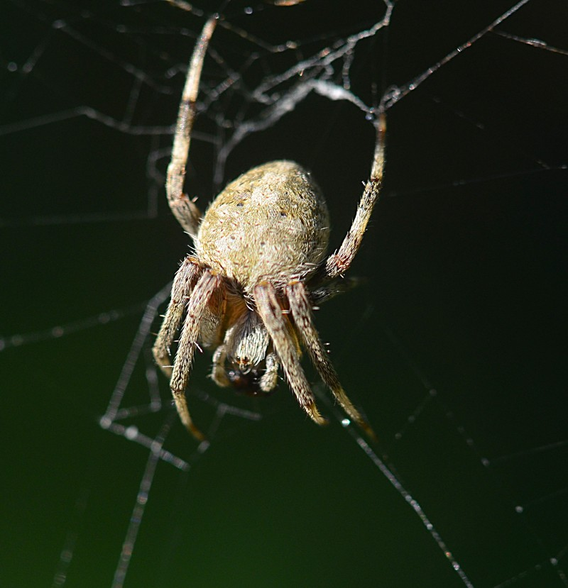 may 21 7656 Araneus cavaticus