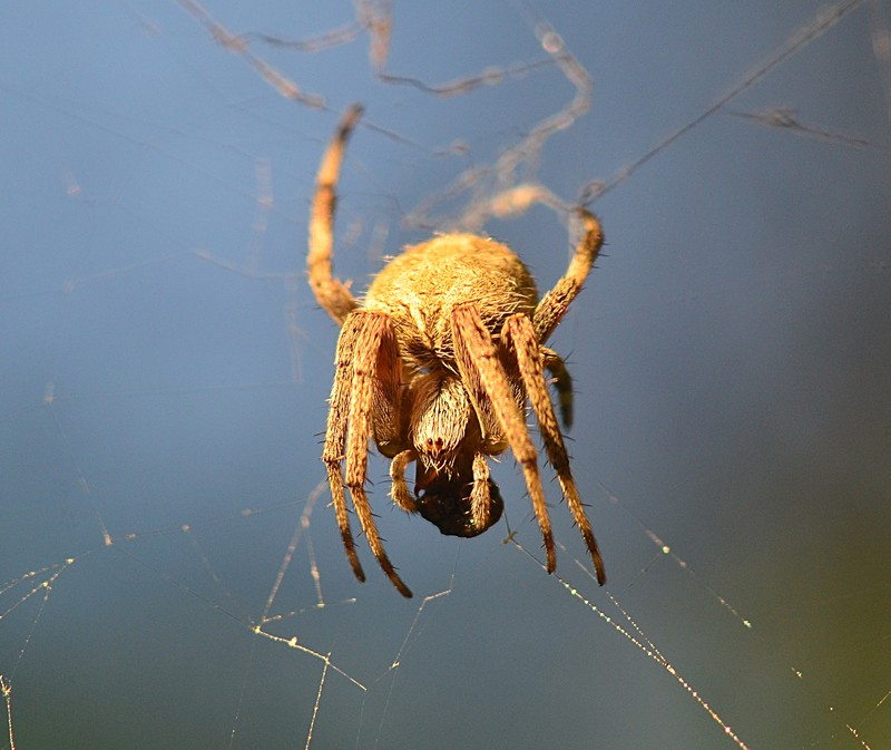 may 21 7665 araneus cavaticus eyes