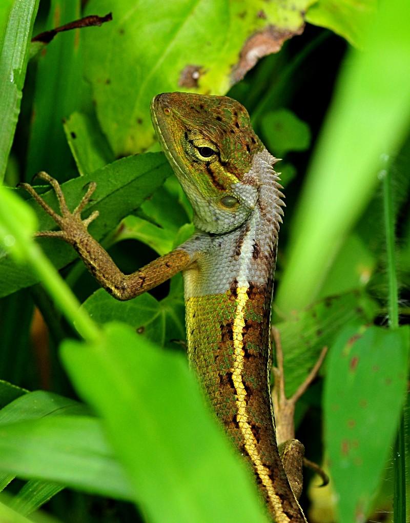 may 22 7723 gecko