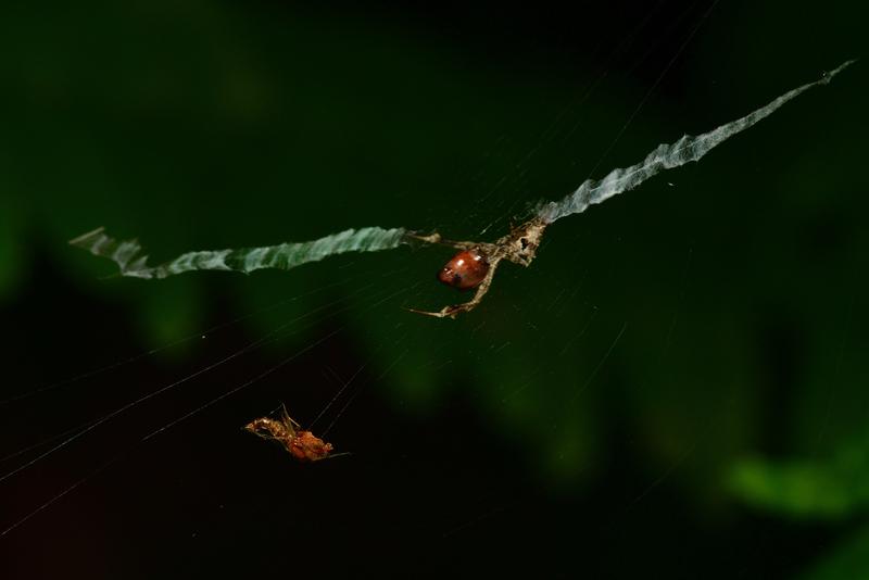 may 24 1127 stabilimenta spider prey