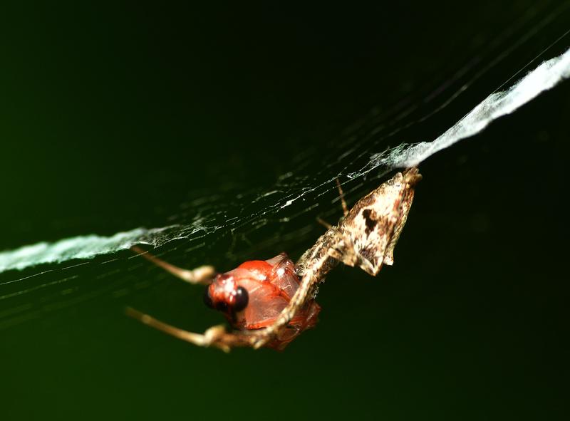 may 24 1132 spider prey stabilimenta