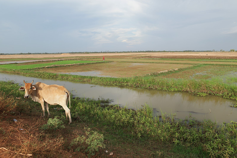 may 24 2996 cow rice field