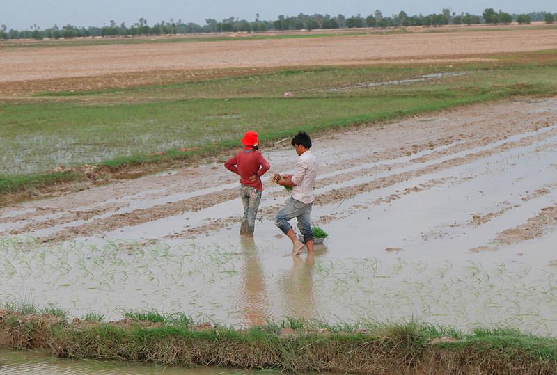may 24 3093 planting rice