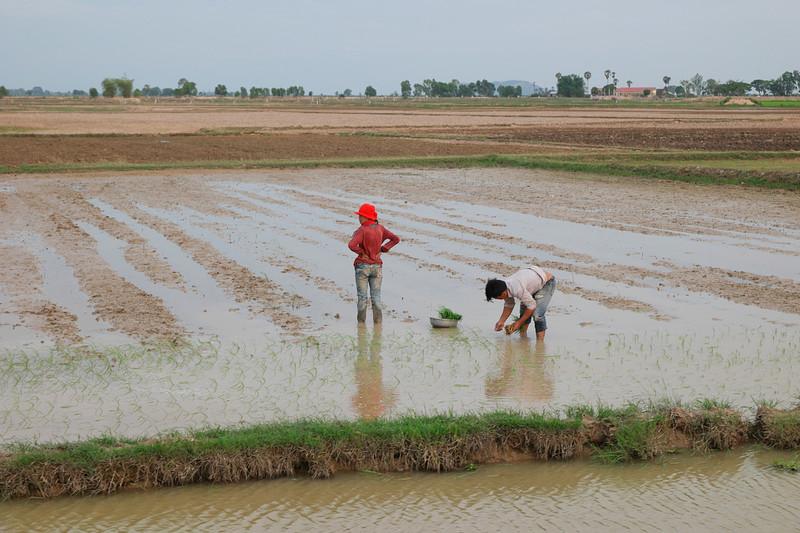 may 24 3095 planting rice