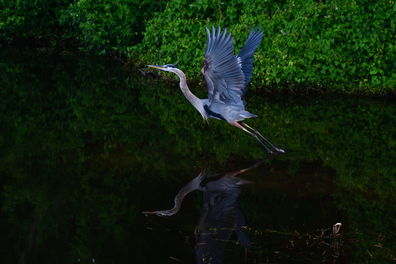 may 25 1995 great blue heron takeoff