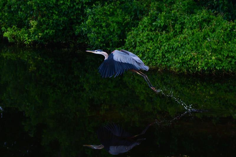 may 25 1996 great blue heron takeoff