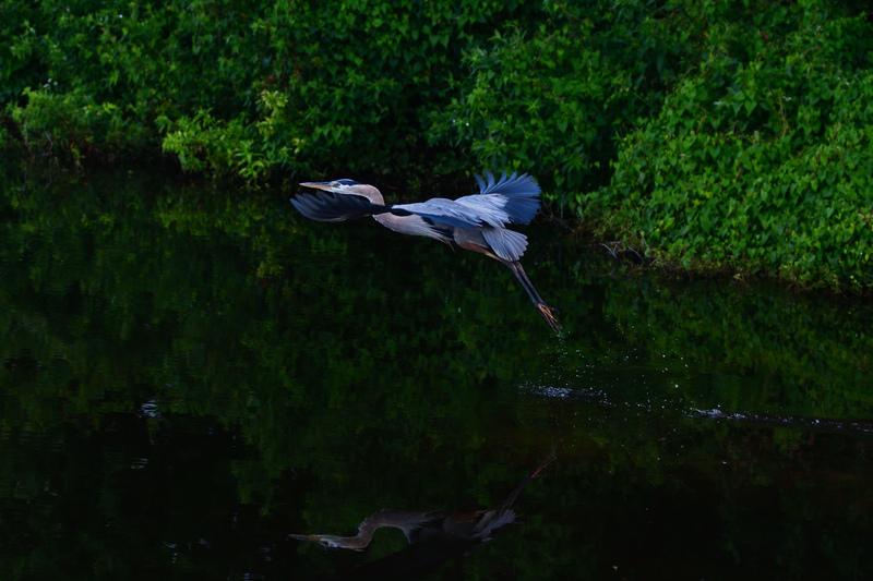 may 25 1997 great blue heron takeoff