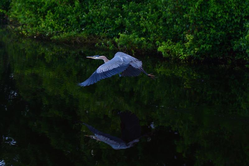 may 25 1999 great blue heron takeoff