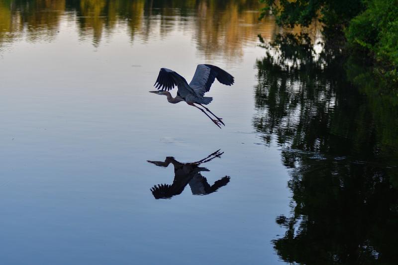 may 25 2003 great blue heron flying