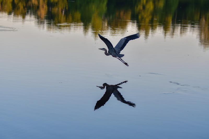 may 25 2005 great blue heron flying