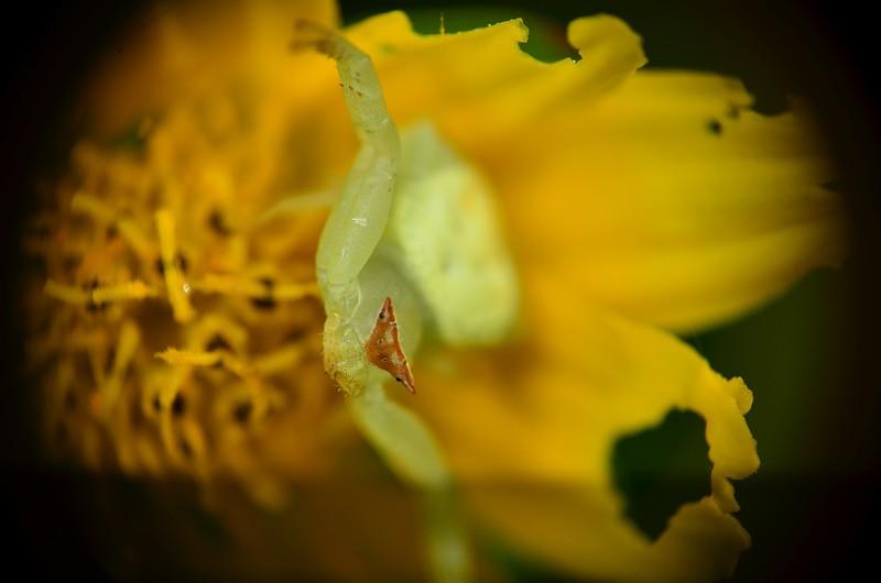 may 26 3986 crab spider flash