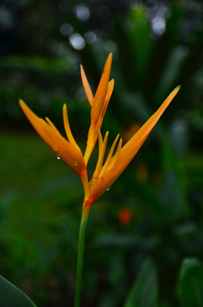 may 27 4146 heliconia