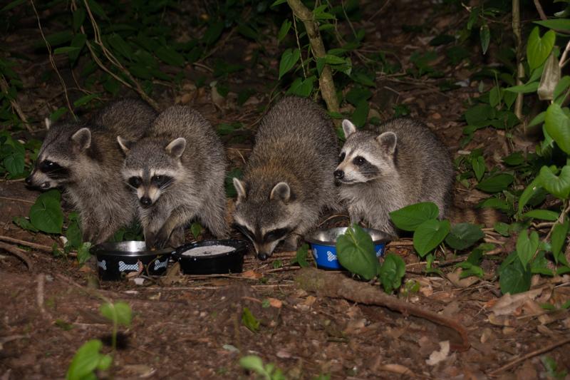 may 28 1231 4 raccoons