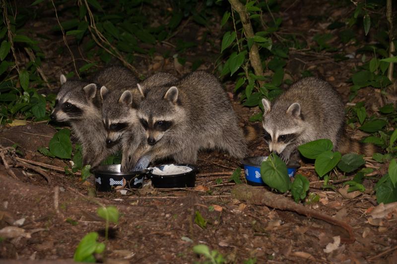 may 28 1232 4 raccoons milky hands