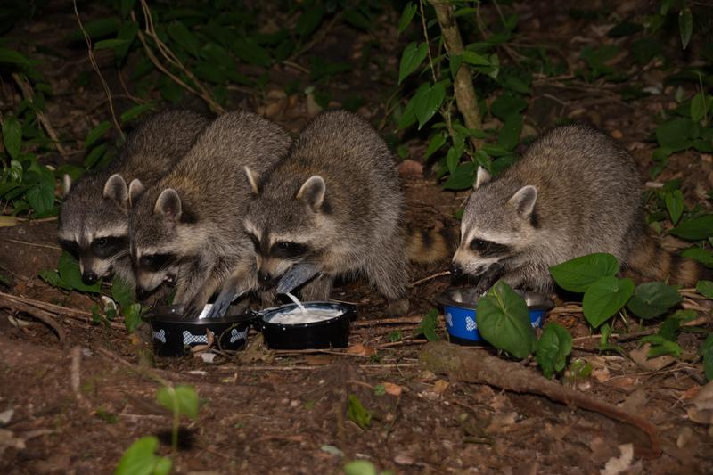 may 28 1234 4 raccoons milky hands