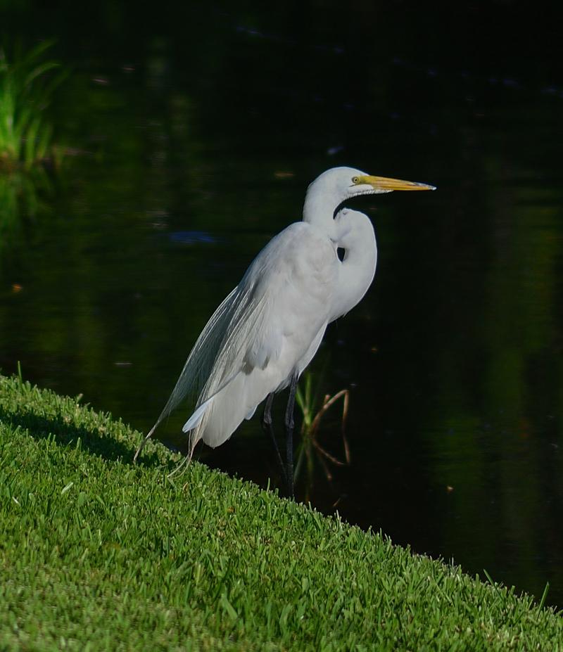 may 28 2345 white egret