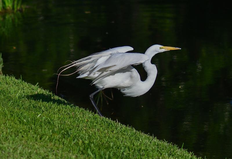 may 28 2346 white egret takeoff