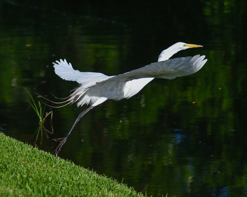 may 28 2347 white egret takeoff